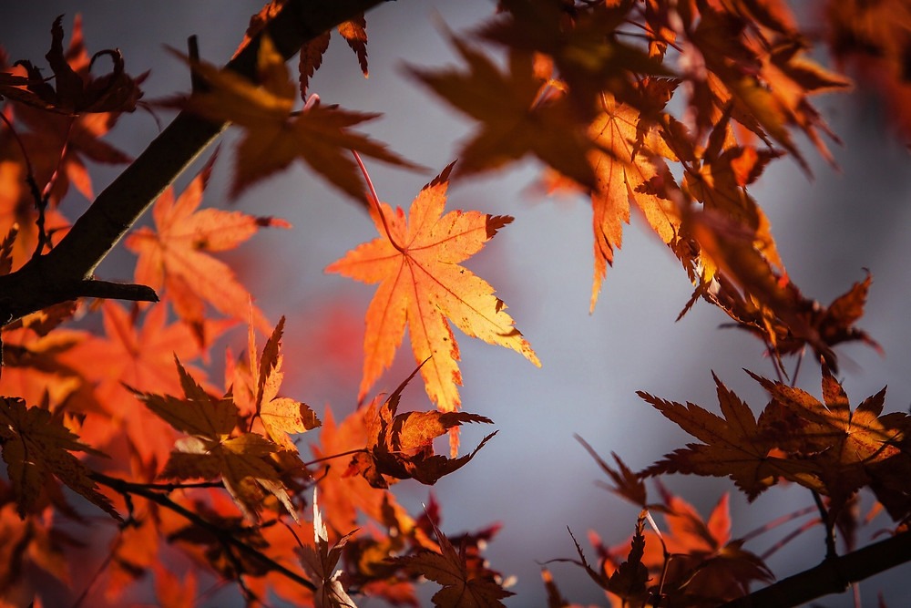 autumn, maple leaves, image by Jimmy Lau, on Pixabay