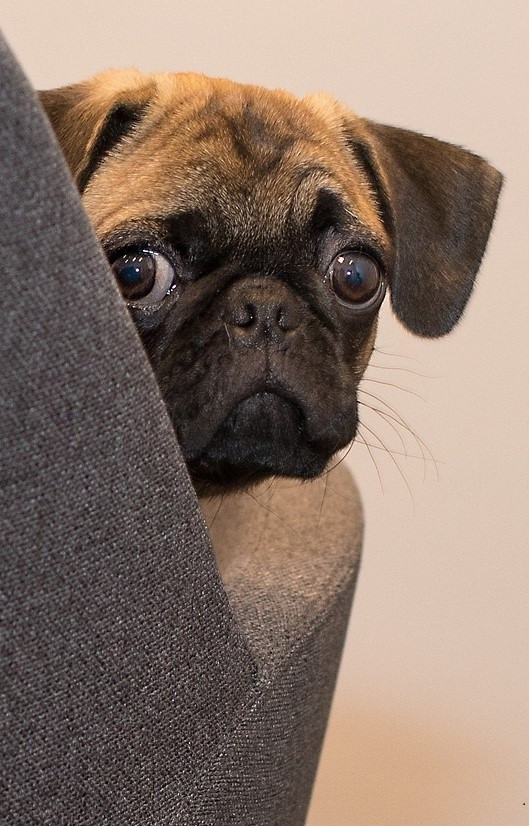 pug, image by Michael Siebert, on Pixabay
