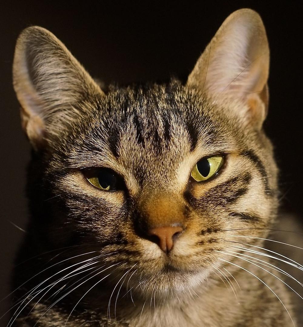 cat, image by skeeze, on Pixabay
