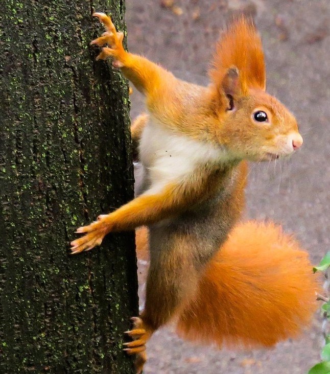 squirrel, image by Gerhard Gellinger, on Pixabay