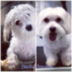 Maltese Puppy #maltese #petsofinstagram