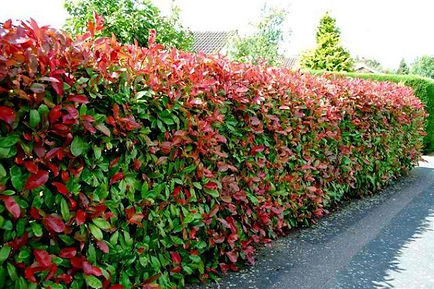 lilly pilly hedge.jpg