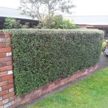 olive hedge.jpg