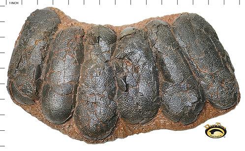 Oviraptor Egg Nest   Replica Fossil