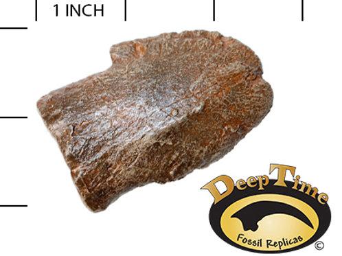 Edmontosaurus sp. Toe