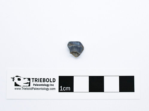 Edmontonia Rugosidens Real Fossil Tooth