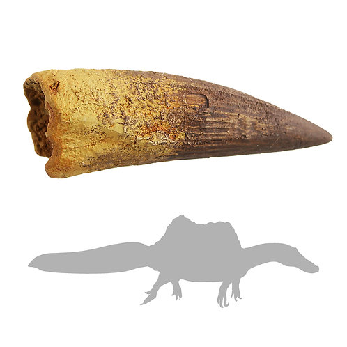 Spinosaurus - Large Tooth | Replica Fossil