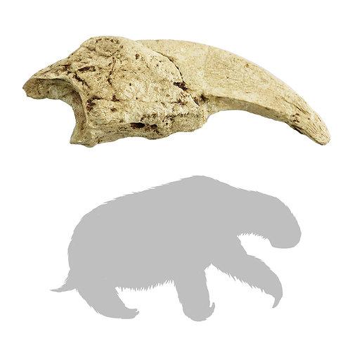 Megalonyx jeffersoni Hand Claw | Replica Fossil