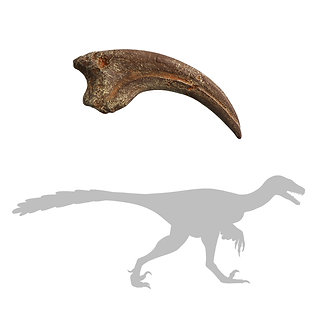 Dromaeosaurus Killing Claw