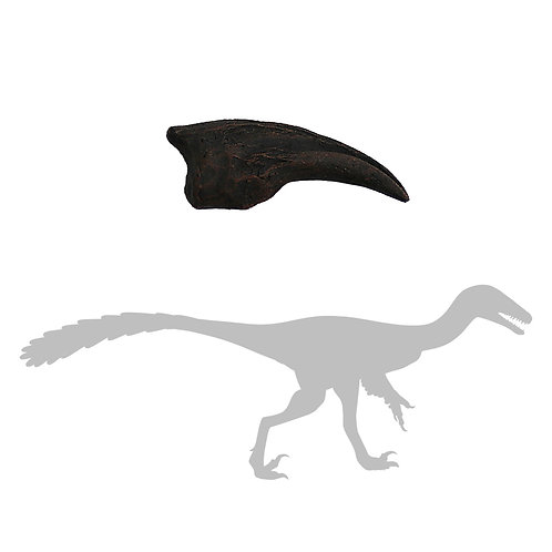 Troodon sp. Foot Claw | Replica Fossil