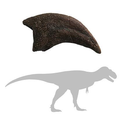 "Daspletosaurus ""dew"" Claw (hallux)"