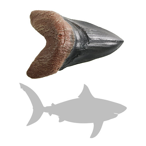 Megalodon Shark Tooth | Replica Fossil