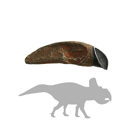 Mongolian Protoceratops Tooth