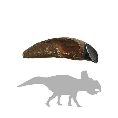 Mongolian Protoceratops Tooth | Replica Fossil