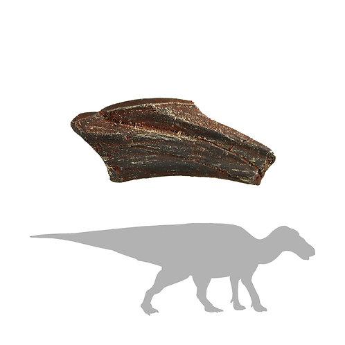 Edmontosaurus sp. Tooth   Replica Fossil