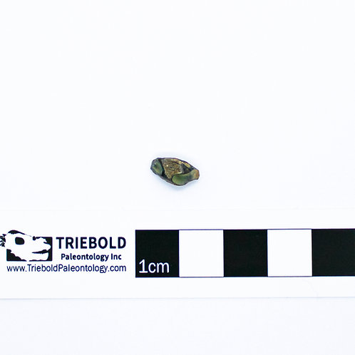Hadrosauridae sp. Real Fossil Tooth