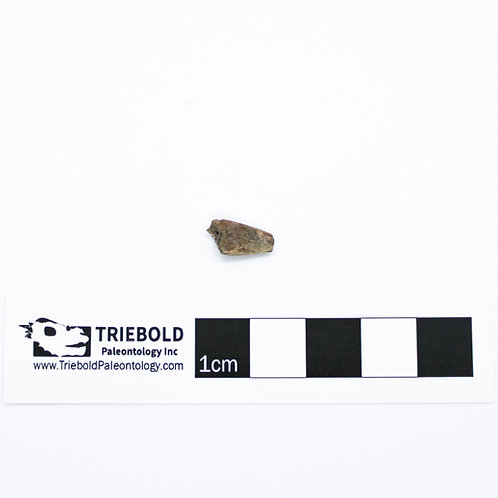 Unidentified Ornithischian Real Fossil Claw