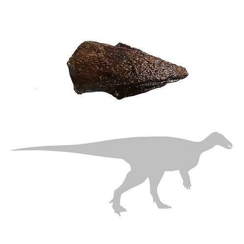Thescelosaurus neglectus Toe | Replica Fossil