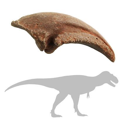 Daspletosaurus Foot Claw