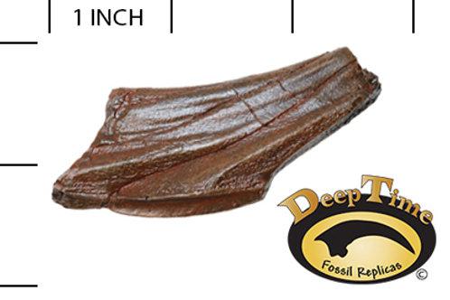Edmontosaurus sp. Tooth
