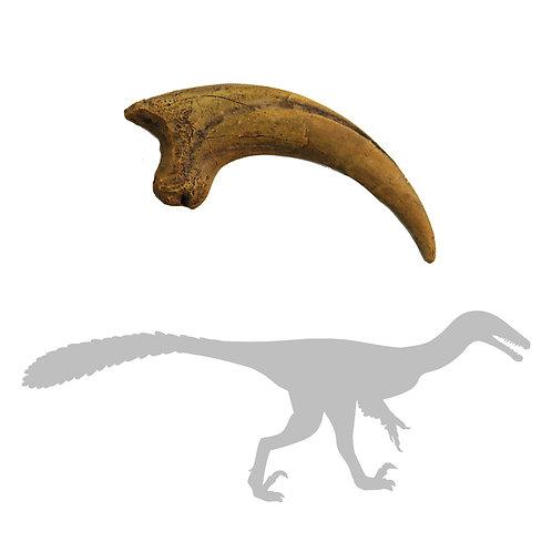 Deinonychus Killing Claw   Replica Fossil