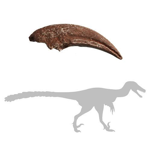 N. African Raptor Claw   Replica Fossil