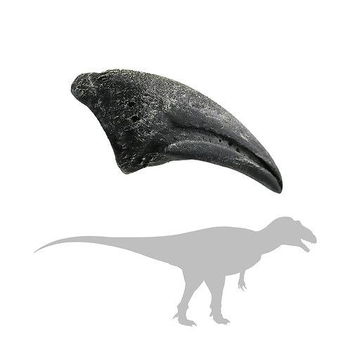 Allosaurus Foot Claw   Replica Fossil