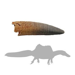 Spinosaurus SM Tooth