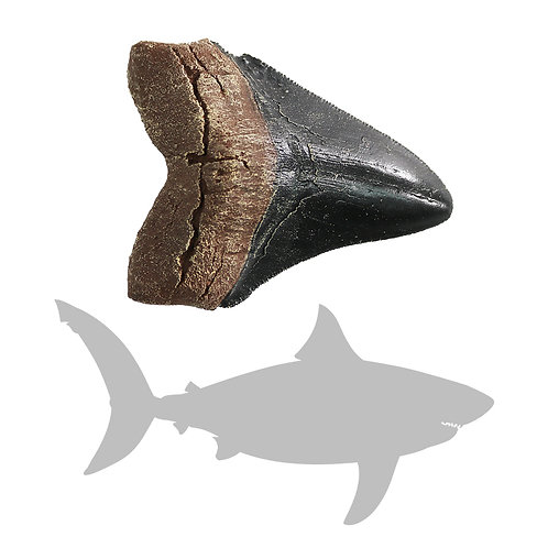 Megalodon Shark Tooth - Small | Replica Fossil