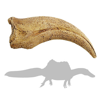 Spinosaurus sp. Hand Claw