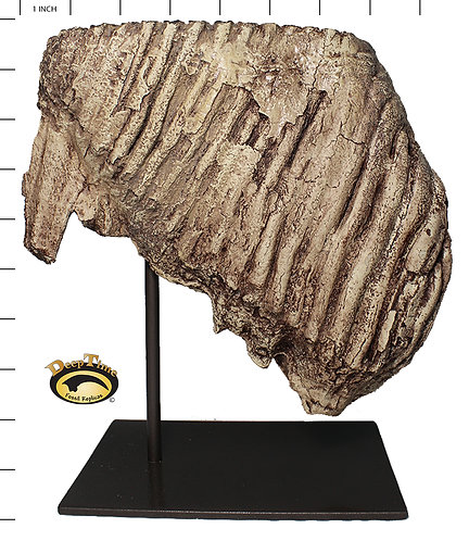 Mammoth Tooth | Replica Fossil