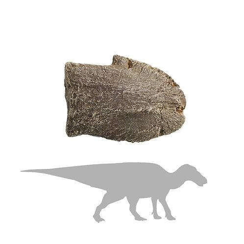 Edmontosaurus sp. Toe | Replica Fossil
