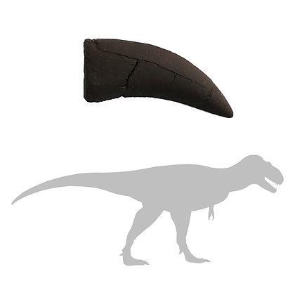 Daspletosaurus sp. Tooth