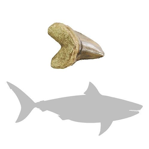 Cretoxyrhina mantelli Tooth | Replica Fossil