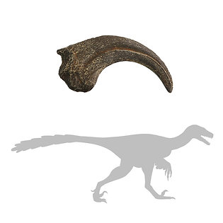 Dromaeosaur Hand Claw   Replica Fossil