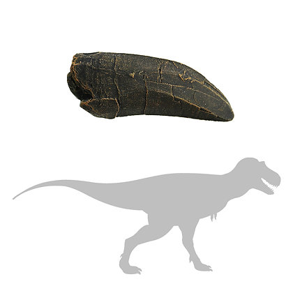 Albertosaurus sp. Tooth
