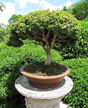 Bonzais | Catálogo de Plantas do Site Dimensão da Natureza