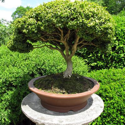 Bonsai's-Small Trees That Make a Big Statement
