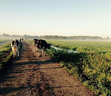 foto koeien.jpg