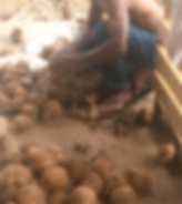 Tavulomo Coconuts Being Cleaned and Graded