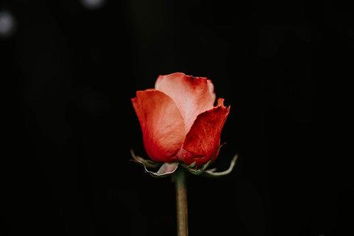The Solitaria Rose