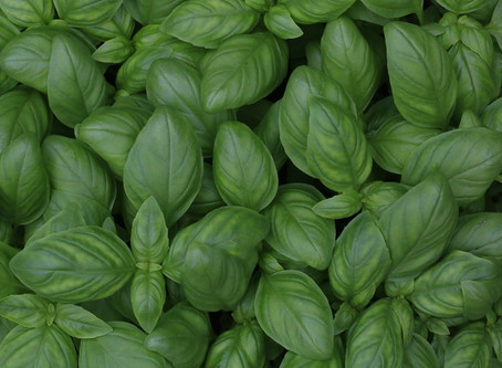 Fundamentals of Growing Basil in Hydroponics