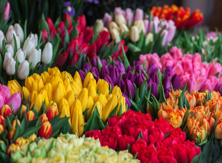 Hydroponic Growing Methods for Tulips