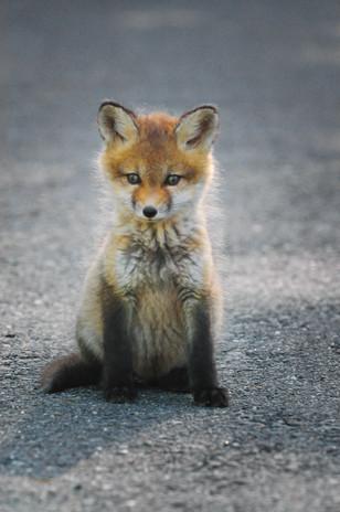 Linda Panzera - Fox.jpg
