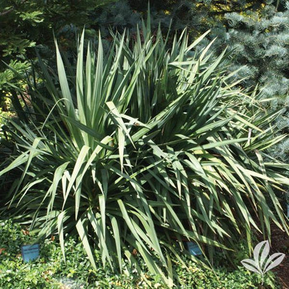 Soft Leaf Yucca.jpg