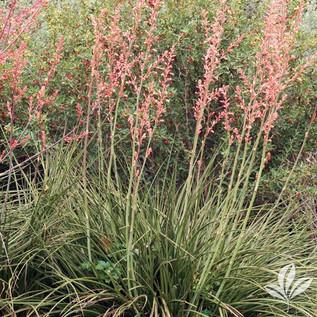 Red Yucca 2.jpg