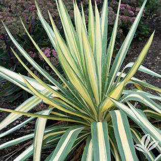 Color Guard Yucca.jpg