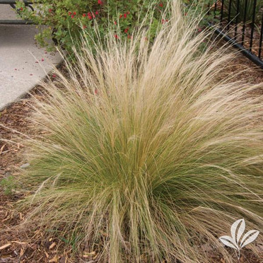 Mexican Feather Grass.jpg