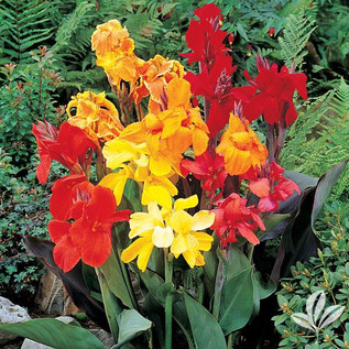 Canna Lily 3.jpg