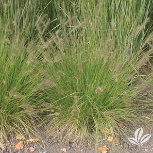 Love Grass.jpg